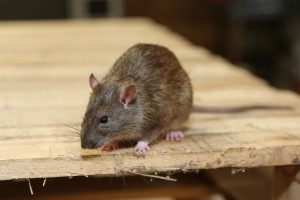 Rodent Control, Pest Control in Hampton, KT8. Call Now 020 8166 9746