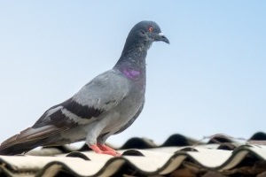 Pigeon Control, Pest Control in Hampton, KT8. Call Now 020 8166 9746