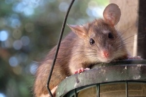 Rat Control, Pest Control in Hampton, KT8. Call Now 020 8166 9746